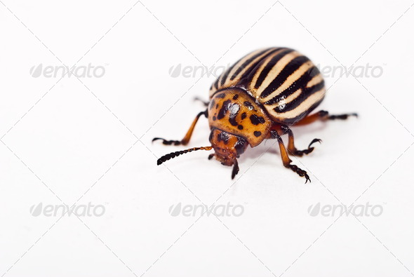 Potato bug - Stock Photo - Images