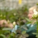 Woman Caring For Flowers In The Greenhouse On The Background Of White Roses - VideoHive Item for Sale