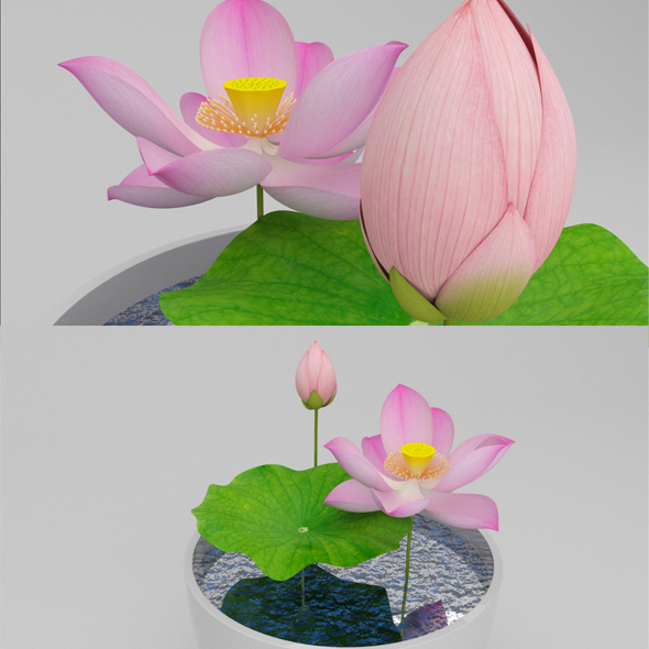 Lotus In Bowl - 3DOcean Item for Sale