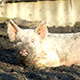 Pig On A Countryside Farm 5 - VideoHive Item for Sale