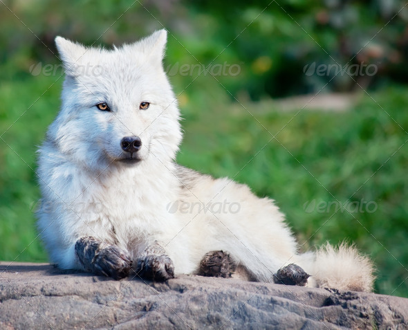 Young Arctic Wolf Lying Down on a Fall Day - Stock Photo - Images