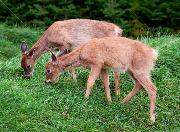 Two Fawns Eating Fresh Grass - Stock Photo - Images