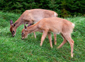 Two Fawns Eating Fresh Grass - PhotoDune Item for Sale
