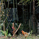 Hen and Chickens at Farm - VideoHive Item for Sale