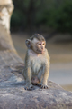 Baby macaque monkey sitting on ancient ruins of Angkor, Cambodia - PhotoDune Item for Sale