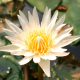 White Lotus Flower - VideoHive Item for Sale