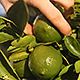 Picking a Lime from a Lime Tree - VideoHive Item for Sale