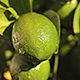 Limes On a Lime Tree - VideoHive Item for Sale