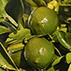 Water Pouring Over Fresh Limes On a Lime Tree - VideoHive Item for Sale