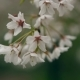 Blossoming Tree Branch With White Flowers On Bokeh Green Background.  - VideoHive Item for Sale