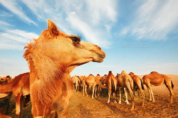 Herd of camels - Stock Photo - Images