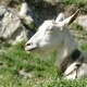 White Goat Lying On The Grass - VideoHive Item for Sale