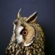 Portrait Of Young Long-eared Owl 2 - VideoHive Item for Sale