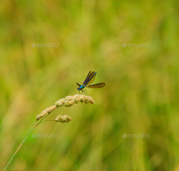 Metallic blue dragonfly - Stock Photo - Images