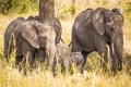 Elephants eating grass in Serengeti Africa