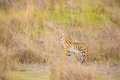 Wild serval looking after prey in Serengeti