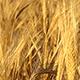 Wheat Grain - VideoHive Item for Sale