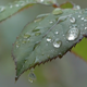 Beautiful Nature Background With Raindrops And Wet Rose Leaf - VideoHive Item for Sale