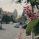 Pink Chestnut Tree on the Street - VideoHive Item for Sale