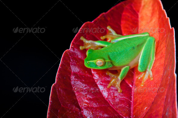 Little green tree frog sitting on red leaf - Stock Photo - Images