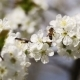 Bee Pollinating Flowers Of Cherry Tree - VideoHive Item for Sale