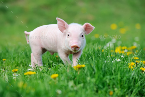 Young pig on grass Stock Photo by byrdyak | PhotoDune