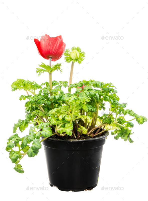 Isolated potted red Anemone flower - Stock Photo - Images