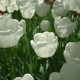 Tulips Swaying The Wind Top View  - VideoHive Item for Sale