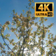 Blossoming Apple Trees In Orchard Garden 2 - VideoHive Item for Sale
