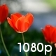 Spring Garden with Tulips - VideoHive Item for Sale