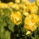 Yellow Tulips Against The Sky - VideoHive Item for Sale