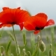 Red Poppies In The Field - VideoHive Item for Sale