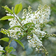 Branches of Bird Cherry 3 - VideoHive Item for Sale