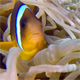 Underwater Clownfish and Sea Anemones - VideoHive Item for Sale