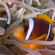 Colorful Underwater Clownfish and Sea Anemones - VideoHive Item for Sale