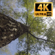 Tops of the trees in the Forest 3 - VideoHive Item for Sale