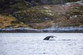 Large humpback whale shows tail fin above water