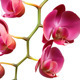 Orchid Flower Branch