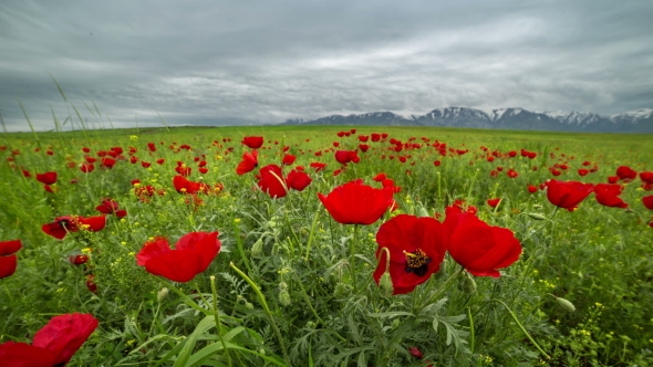 Beautiful blossom red poppies flower landscape windy and cloudy play preview video mightylinksfo