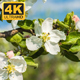 Flowers on an Apple Tree - VideoHive Item for Sale