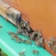 Guard Bees Fighting With Bees From Other Colonies At The Hive Entrance - VideoHive Item for Sale