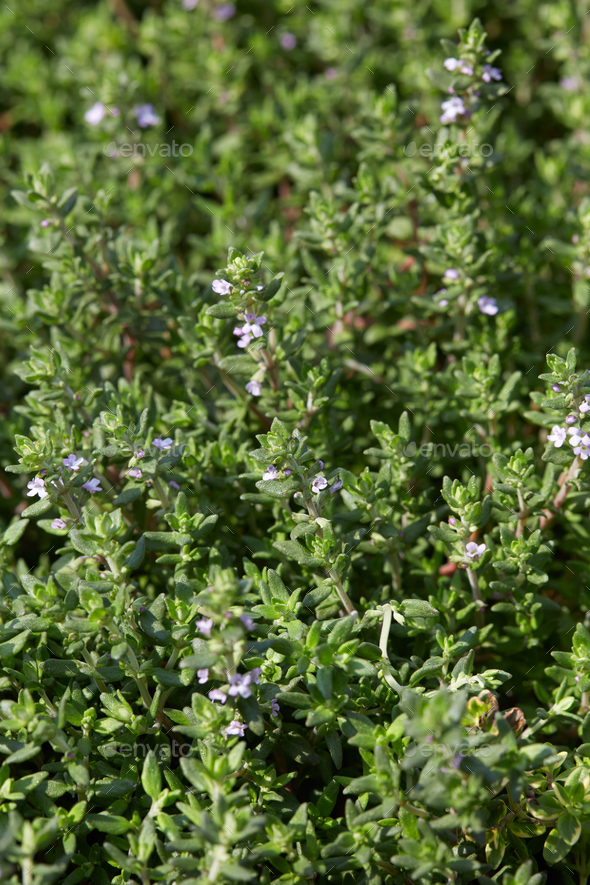 Thyme, Thymus vulgaris green leaves background