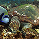 Hawksbill Turtle and Emperor Angefish Feeding Together - VideoHive Item for Sale
