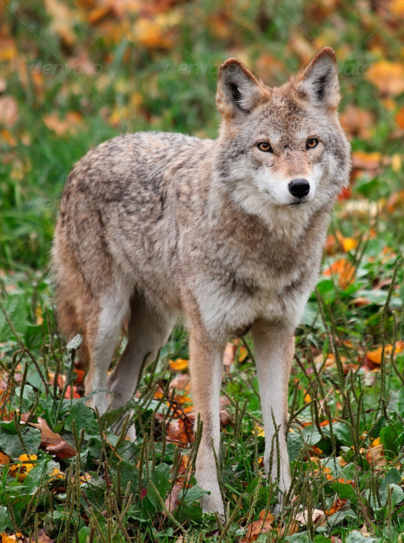 Coyote Looking at the Camera - Stock Photo - Images