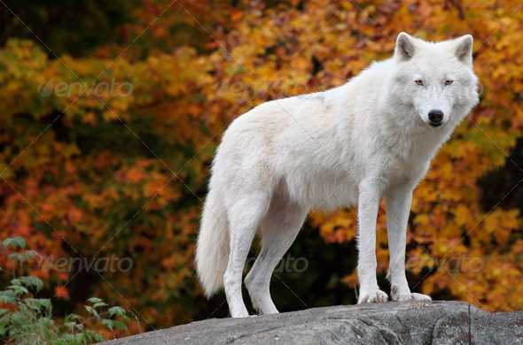 Arctic Wolf Looking at the Camera on a Fall Day - Stock Photo - Images