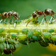 Ants taking care of aphids - PhotoDune Item for Sale
