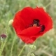 Poppy - VideoHive Item for Sale
