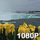 Daffodils atop Niagara Falls - VideoHive Item for Sale