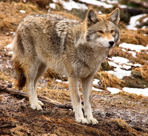 Coyote Looking Ahead - Stock Photo - Images