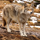 Coyote Looking Ahead - PhotoDune Item for Sale